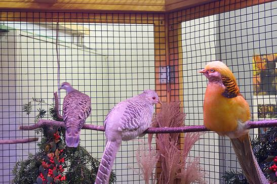 Ein paar Goldfasanen und eine Bronzeflügeltaube